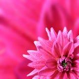 Blumenblatt der Dahlie Lizenzfreie Stockfotos