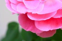 Blumenblatt der Rosarose Stockfoto