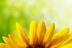 Blumenblatt der Sonnenblume Stockfoto