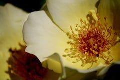 Blumenblatt fünf stieg in den Sun Stockfoto