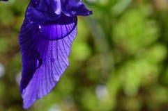 Blumenblatt von Iris mit einem Wassertropfen nach einem Regen Lizenzfreie Stockbilder