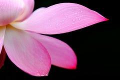 Blumenblatt von Lotos Stockbild