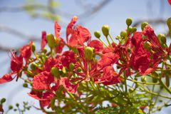 Blumenblattfrische der roten Blume des Pfaus schöne und helle Farbe an Stockfoto