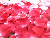 Blumenblattrosen Hintergrund, Geburtstag lizenzfreie stockfotografie