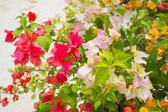 Blumenbouganvilla Lizenzfreies Stockfoto
