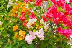 Blumenbouganvilla Stockfoto