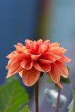Blumendahlie Stockfoto