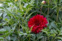 Blumendahlie Stockfotos
