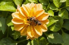 Blumendahlien mit einer Biene Stockfoto