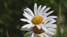 Blumenerschütterungen des weißen Gänseblümchens durch den Wind im Sommer auf einem Gebiet Nahaufnahme Schöne Frühlingsgänseblümch stock video