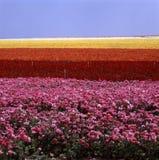 Blumenfeld Stockfotos