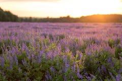 Blumenfeld bei Sonnenuntergang Lizenzfreies Stockfoto