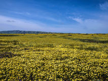 Blumenfeld, das in der Nationalparknatur blüht Stockfotografie