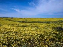 Blumenfeld, das in der Nationalparknatur blüht Stockfotos