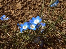 Blumenfeld Kalifornien der blauen Augen des Babys stockfotografie