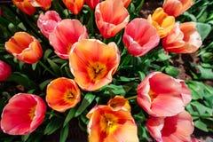 Blumenfeld mit bunten Tulpen Tulipa Ace zacken aus Stockbild