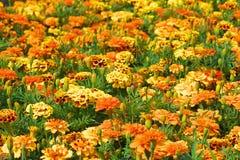 Blumenfeld von Ringelblumen Stockfotografie