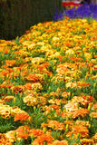 Blumenfeld von Ringelblumen Stockbild