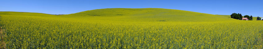 Blumenfeldansicht des Panoramas gelbe Stockbilder