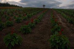 Blumenfelder auf den Hügeln um Biei Lizenzfreies Stockbild