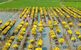 Blumenfelder Sa Dezember, Vietnam stockfotos