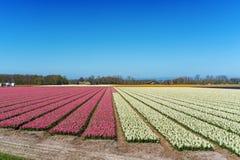 Blumenfelder von mehrfarbigen Hyazinthen entlang dem Kanal im nördlichen Teil von Holland, in stockbild