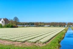 Blumenfelder von mehrfarbigen Hyazinthen entlang dem Kanal im n?rdlichen Teil von Holland, in stockbilder