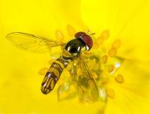Blumenfliege Lizenzfreie Stockfotos