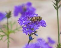 Blumenfliege, die auf purpurrote Elizabeth Earle-Blumen im Garten einzieht stockbilder