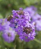 Blumenfliege, die auf purpurrote Elizabeth Earle-Blumen im Garten einzieht lizenzfreie stockfotos