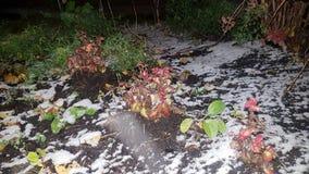 Blumenforderung durchgesetzt mit erstem Schnee Lizenzfreie Stockfotografie