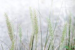 Blumenfuchsschwanzunkraut in der Natur Lizenzfreie Stockfotos