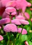 Blumengänseblümchen Stockbild