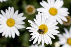 Blumengänseblümchen und eine Biene stockfotos