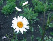 Blumengänseblümchennahaufnahme Lizenzfreies Stockbild