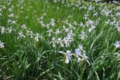 Blumengarten der malvenfarbenen Schmetterlingsiris Lizenzfreies Stockbild
