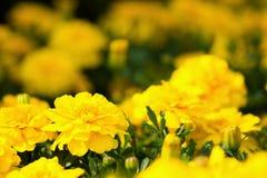 Blumengarten von gelben Ringelblumen Stockfotografie