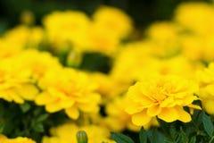 Blumengarten von gelben Ringelblumen Stockbild