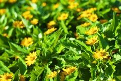 Blumengarten von Goldmedaillonblumen Lizenzfreies Stockbild