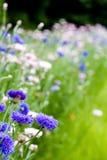 Blumengarten von Kornblumen Lizenzfreie Stockfotos