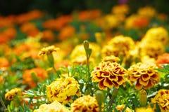Blumengarten von Ringelblumen Stockfotos