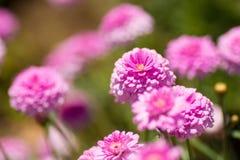 Blumengarten von rosa Zinnia Stockbilder