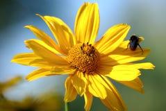 Blumengelb Lizenzfreie Stockfotografie