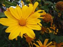 Blumengelb Lizenzfreies Stockbild