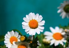 Blumenhändler-Chrysantheme Lizenzfreies Stockbild
