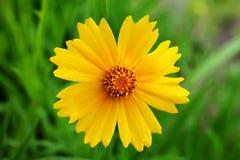 Blumenhändler-Chrysantheme in der vollen Blüte Lizenzfreie Stockfotos