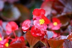 Blumenhändler, die Begonieblume blühen Stockfotografie