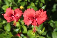 Blumenhibiscus Lizenzfreie Stockfotos