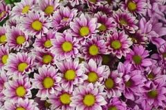 Blumenhintergrund der rosa Chrysantheme stockfotos