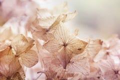 Blumenhintergrund der trockenen Hortensie lizenzfreies stockbild